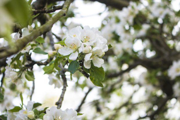 apple-tree-spring-blossom-2